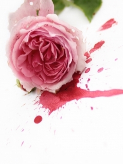pink-rose-storm